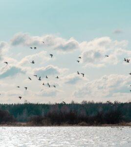 Весняна міграція птахів в природному заповіднику «Древлянський»